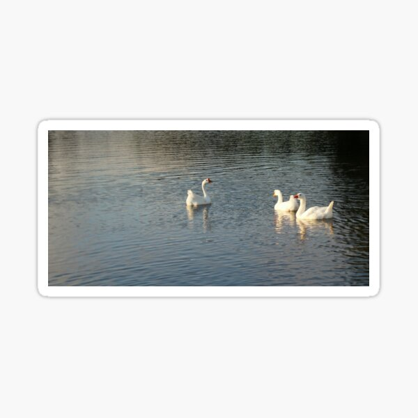 geese in Trojan pond, near Goble, Oregon 2 Sticker