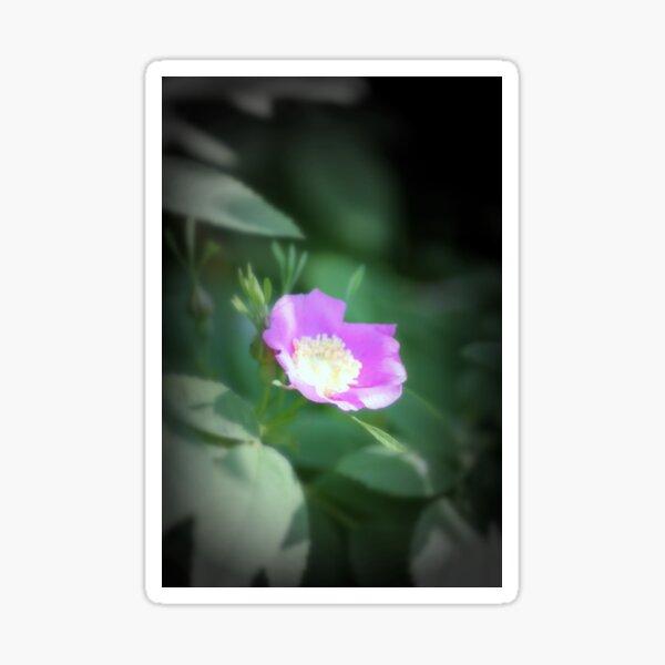 Old fashioned pink rose, near Trojan pond, Oregon Sticker