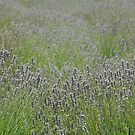 Lavender fields by Candy Jubb