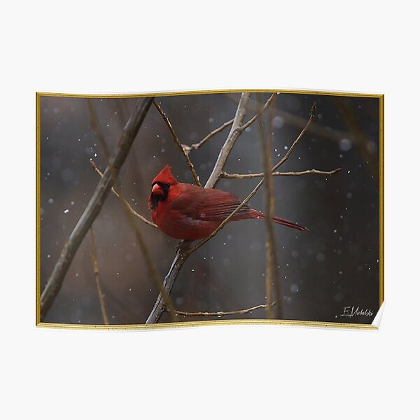 Cardinal in the snow lit on a branch Poster