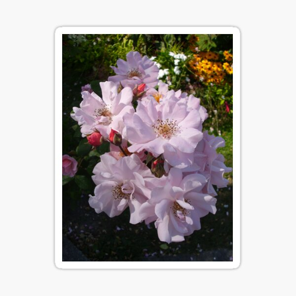 Pastel pink roses, Honfleur, France Sticker