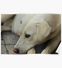 White Dog Lying Down Poster