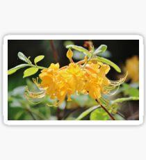 Yellow Wild Azalea  Sticker