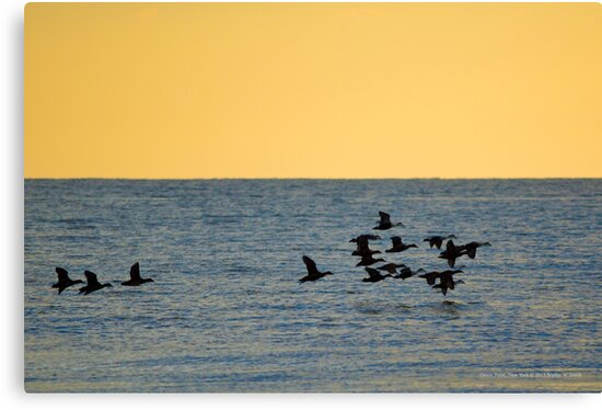 Somateria Mollissima - Common Eider Flock | Orient Point, New York by © Sophie W. Smith