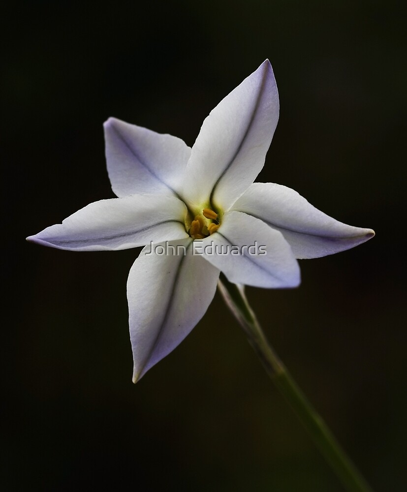 Starflower by John Edwards