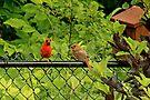 Red Cardinal Couple by Yannik Hay