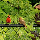 Red Cardinal Couple by Yannik Hay