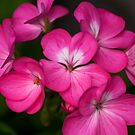 Pink Geranium Flowers  by shane22
