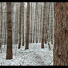 April snowstorm on pines by jrier