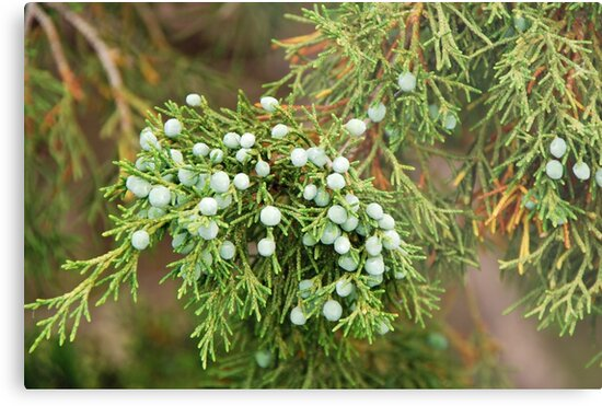 Juniper Berries by mcstory