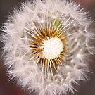Dandelion by Sophia Covington