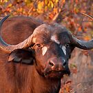 Buffalo at sunrise, Kruger National Park, South Africa by Erik Schlogl