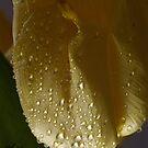 I do love Tulips . Wishing you a very happy spring . by © Andrzej Goszcz,M.D. Ph.D