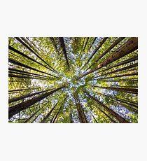 Redwood Heaven Photographic Print