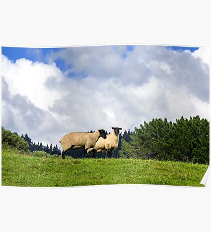 Shy Sheep Poster
