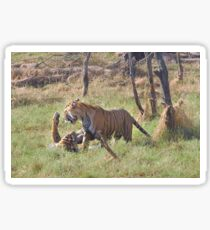 Bengal Tigers Sparring In A Marsh Sticker