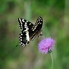 Palamedes Swallowtail by Bill Morgenstern