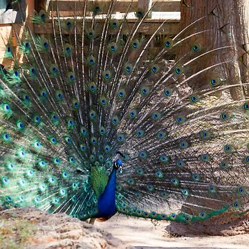 Peafowl in Display by FlareND