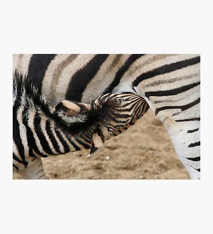 Chapman Zebra Baby Photographic Print