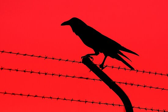 Barbed Wire Crow by Mark Snelson