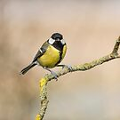 Great Tit  by M S Photography/Art