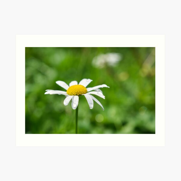 Chamomile flower with dewdrops Art Print