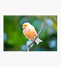 Canary Photographic Print