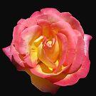 Sunlit 'Sugar Pink' Rose auf schwarzem Hintergrund von BlueMoonRose