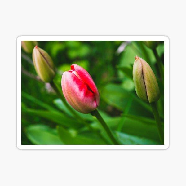 Tulip bulbs flower love Sticker