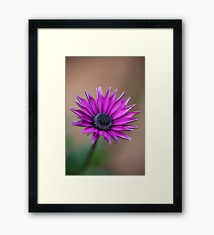 Winter's Daisy Framed Print