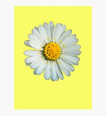 White daisy Photographic Print