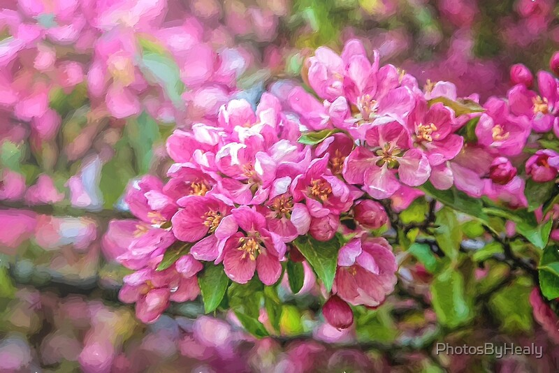 Crabapple blossoms - painted by Photos by Healy