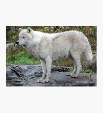 Arctic Wolf HDR Photographic Print