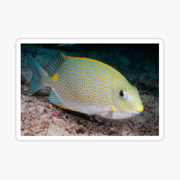 Golden Rabbitfish, Kapalai, Sabah, Malaysia Sticker