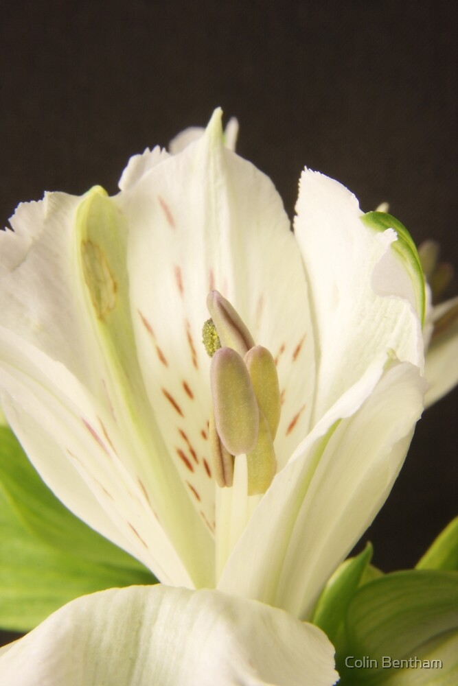 White flower closeup by Colin Bentham