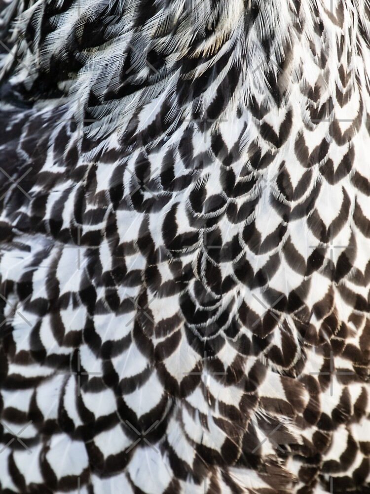 Silver Laced Wyandotte Feathers by c2avilez
