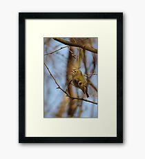 Goldcrest Perched Framed Print