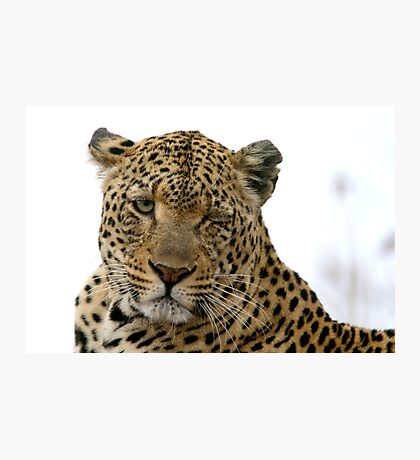 Can Leopards Wink? Photographic Print