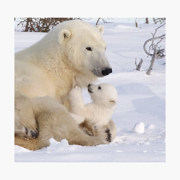 Mother polar bear & cub Photographic Print
