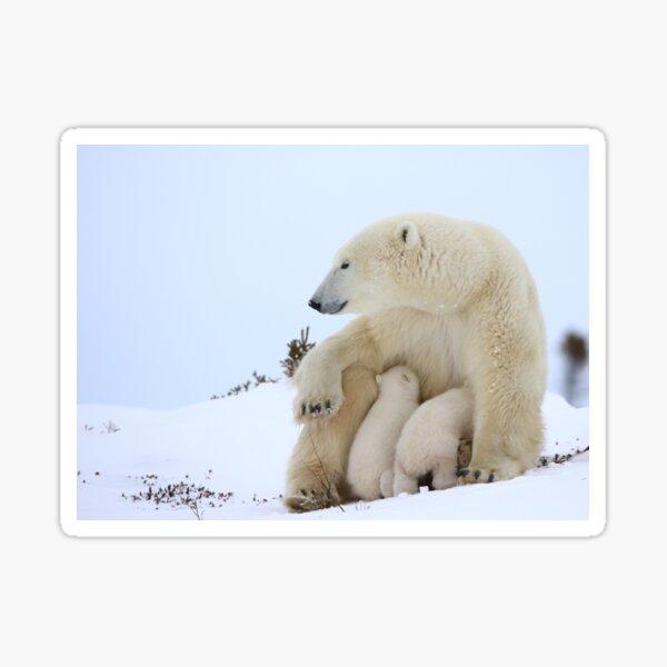 Mother polar bear nursing her newborn cubs Sticker