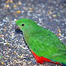 King Parrot by W E NIXON  PHOTOGRAPHY