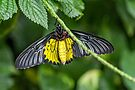 Golden Birdwing by PhotosByHealy