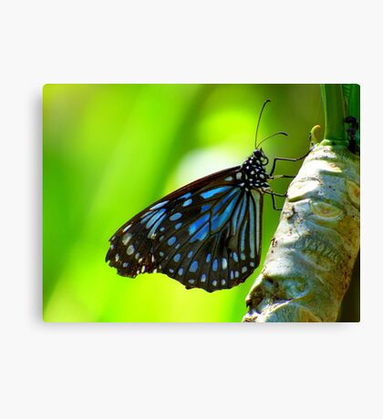 The  Butterfly Blue  Canvas Print