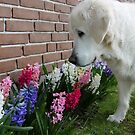 Ditte admires the hyacinths by Trine