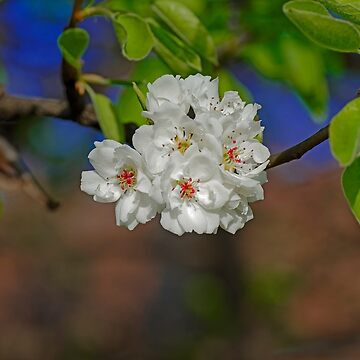 Blossom cherry in its own shadow by AdiBud
