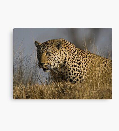 Female Leopard - Makwela Canvas Print