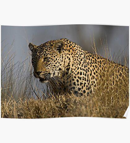 Female Leopard - Makwela Poster