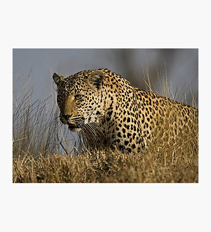 Female Leopard - Makwela Photographic Print