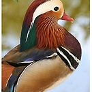 Mandarin Duck by cinn