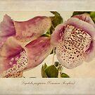 Foxglove Textures by John Edwards